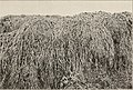 The botany of Iceland (1912) (20218970719).jpg