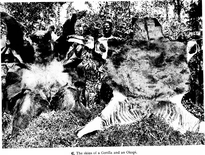 File:The wonderland of the Eastern Congo; the region of the snow-crowned volcanoes, the pygmies, the giant gorilla, and the okapi (1922) (20747992226).jpg