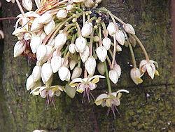 Blomstrende kakao.