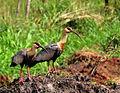 Theristicus caudatus -Dourados, Brasil -8.jpg