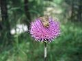 Thistle flower and moth.jpg