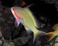 Threadfin anthias male
