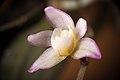 Thrixspermum saruwatarii (Hayata) Schltr., Repert. Spec. Nov. Regni Veg. Beih. 4 275 (1919) (38916603540).jpg