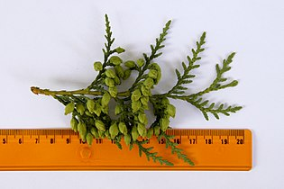 Thuja occidentalis foliage 2.JPG