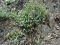 Thymus-vulgaris.JPG