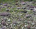 Thymus vulgaris5.JPG