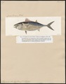 Thynnus brachypterus - 1700-1880 - Print - Iconographia Zoologica - Special Collections University of Amsterdam - UBA01 IZ13500200.tif