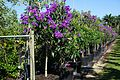 Tibouchina Granulosa (Purple Glory Tree) (28893673935).jpg