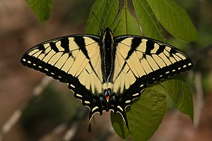 Tiger swallowtail butterfly, Shawnee National ...