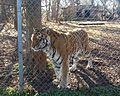 Tiger in enclosure at Carolina Tiger Rescue 2.jpg