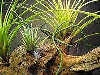 Tillandsia loliacea (43972671).jpg