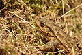 Toad near Venford Reservoir (4725).jpg