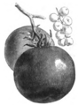 Tomate pomme Vilmorin-Andrieux 1883.png
