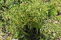 Tomato Plant 1 2013-07-01.jpg