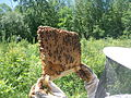 Top-bar brood comb from a warre hive.jpg