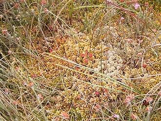 Raised bog - Peat moss floating mat on a silted-up raised bog kolk