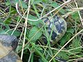 Tortoises in Krushevska Reka valley - P1100141.JPG