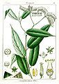Tournefortia reticosa Govindoo.jpg