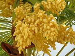 Trachycarpus fortunei.101 - Ponferrada.jpg