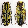 Tragocephala variegata (16308233290).jpg