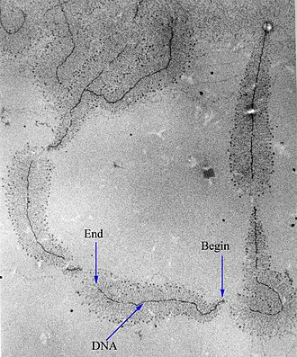 "Cell nucleus - A micrograph of ongoing gene transcription of ribosomal RNA illustrating the growing primary transcripts. ""Begin"" indicates the 5' end of the DNA, where new RNA synthesis begins; ""end"" indicates the 3' end, where the primary transcripts are almost complete."