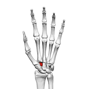 Trapezoid bone (left hand) 01 palmar view.png