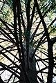 Tree9, UCSC.jpg