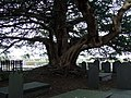 Tree in St Deiniol's churchyard - geograph.org.uk - 116775.jpg