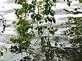 Trepadeiras sobre o lago.jpg