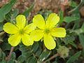 Tribulus terrestris L. - Flickr - lalithamba.jpg
