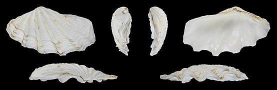 Tridacna crocea 01.jpg