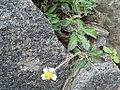 Tridax procumbens-plant-yercaud-salem-India.JPG
