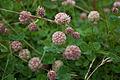 Trifolium fragiferum.jpg