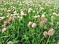 Trifolium fragiferum (subsp. fragiferum) sl15.jpg