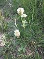 Trifolium montanum (subsp. montanum) sl18.jpg