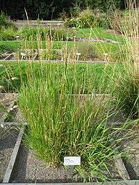 Trisetum flavescens - Oslo botanical garden - IMG 8899