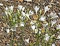 Triteleia laxa 3.jpg
