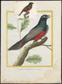 Trogon curucui - 1700-1880 - Print - Iconographia Zoologica - Special Collections University of Amsterdam - UBA01 IZ16700333.tif