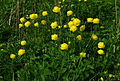Trollius europaeus - flowers and leaves 02.jpg