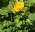 Trollius hondoensis (flower and bud).JPG