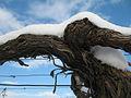 Trta pod snegom (6247537692).jpg