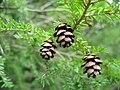 Tsuga canadensis foliagecones.jpg