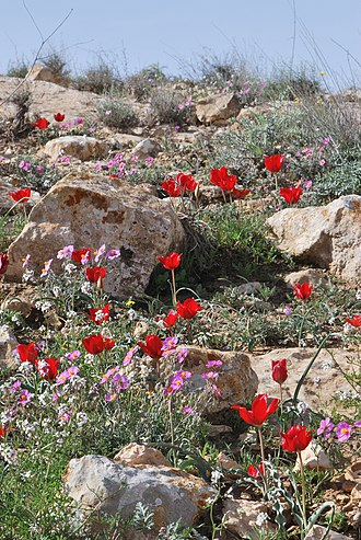 Negev - Spring blooms in the Negev