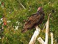 Turkey Vulture - Flickr - treegrow (1).jpg