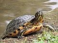 Turtle (24254988017).jpg