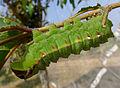 Tussar Silk Moth Caterpillar - Antheraea mylitta (8240520369).jpg