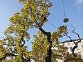 Tv-eken vid Oxenstiernsgatan - KMB - 16001000511208.jpg