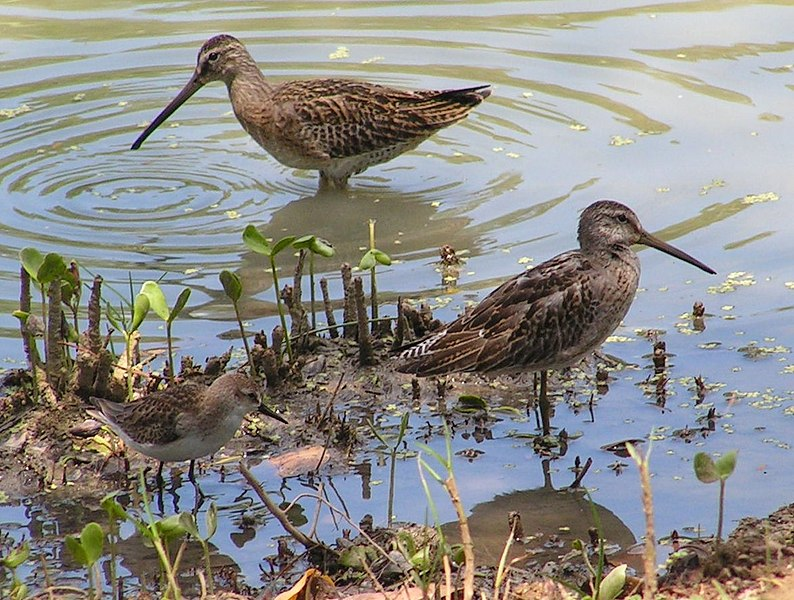 Bestand:Two Dowitchers and a Semipalmated sandpiper.jpg