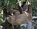 Two toed Sloth 5 (4872563680).jpg