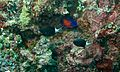 Twospined Angelfish (Centropyge bispinosa) and Bicolor Chromis (Chromis margaritifer) (6133058534).jpg